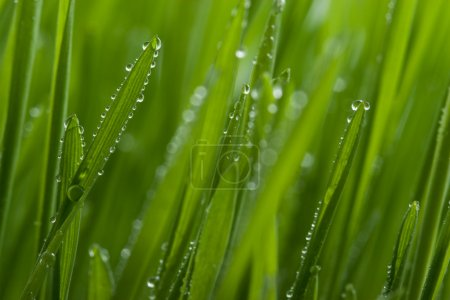 Macro of grass with dew