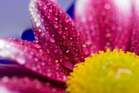 Macro of daisy petals