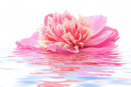 Photo for Pink peony flower floating in water isolated - Royalty Free Image