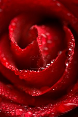 Beautiful red rose with water droplets