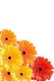 Květy Gerber, samostatný