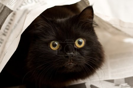 Cute black cat under newspaper