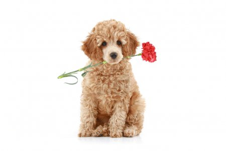 Apricot poodle puppy with red carnation