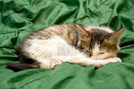Sleeping on the Green Silk Cloth Kitten