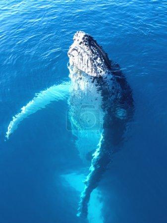 Portrait of a majestic humpback whale in australia...