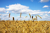 "Постер, картина, фотообои ""область пшеницы"""