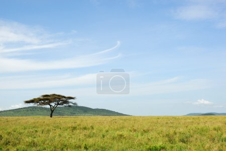 An acacia tree in a savannah