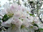 Na jaře kvetoucích ovocných stromů