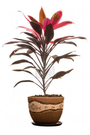Photo for Cordylina in flower pot isolated on white background - Royalty Free Image