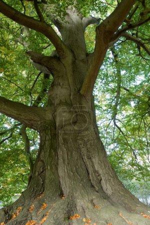 majestätischer alter Baum
