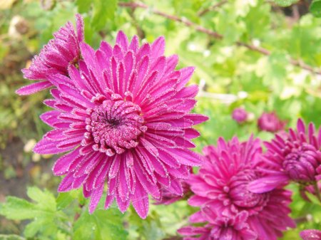 Asters in the garden, the dew on flowers...