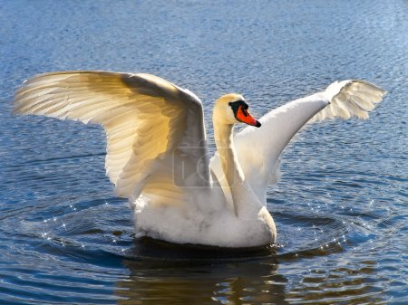 Photo for The white swan on the blue water - Royalty Free Image