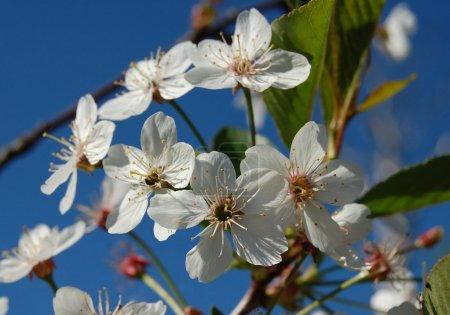 White flowers apple-tree