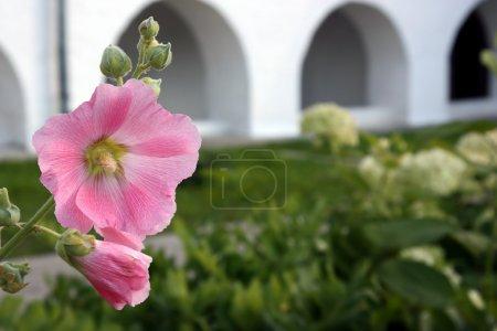 Photo pour Fleur de mauve en gros plan sur un fond de mur blanc avec des arcs. Souzdal. beau fond pratique - image libre de droit