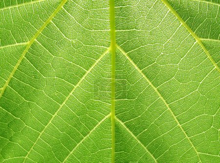 Photo for Texture of grape leaf (macro) - Royalty Free Image