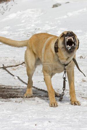 Big strong Aggressive dog.