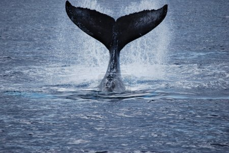 Photo for A diving humpback whale near Maui. - Royalty Free Image