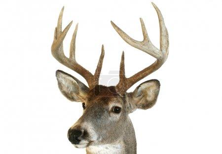 Photo pour Gros plan d'une tête de cerf à queue blanche regardant vers le spectateur à un angle . - image libre de droit