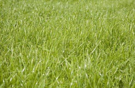 Photo pour Prairie couverte d'une herbe verte luxuriante - image libre de droit