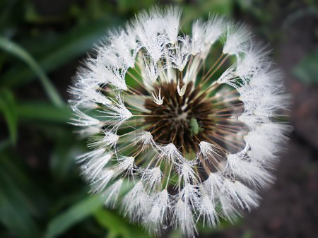 Dandelion with Dew drops