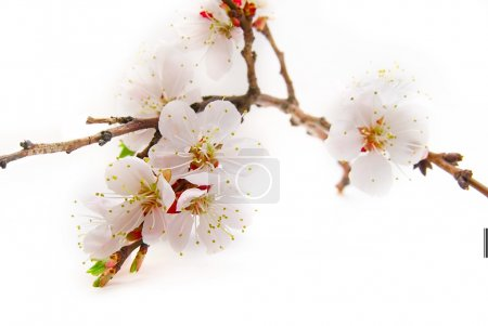 Photo pour Fond de fleurs printemps rose tendre - image libre de droit