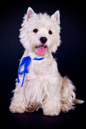 West Highland White Terrier over black