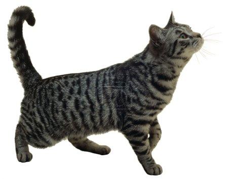 Photo pour Beau chat isolé sur fond blanc - image libre de droit