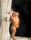 Dětská orangutan
