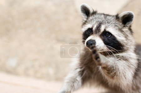 Photo for A raccoon wishing to make true friends - Royalty Free Image