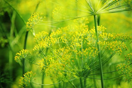 Photo for Green dill close-up photo - Royalty Free Image