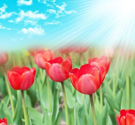 Photo pour Nombreuses tulipes dans le jardin - image libre de droit