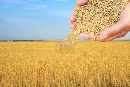 Wheat field and falling grain in arms