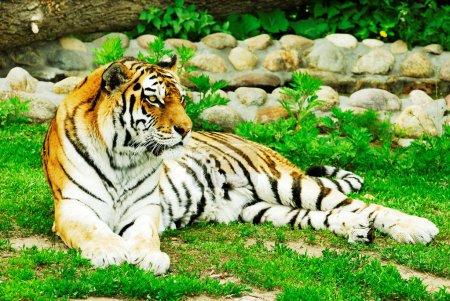 Laying tiger