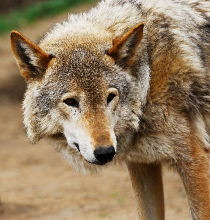 Photo for The gray wolf has turned back to be convinced of the safety - Royalty Free Image