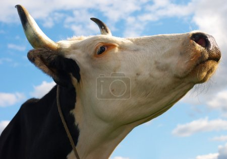 Muzzle of a cow