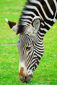 The zebra smells a flower