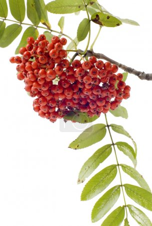 Ashberries with leafs closeup