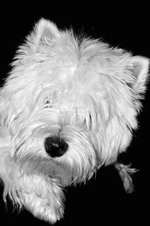 Photo pour West Highland White Terrier - image libre de droit
