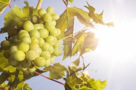 raisins sous le soleil