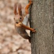 Squirell with the nut on a tree...