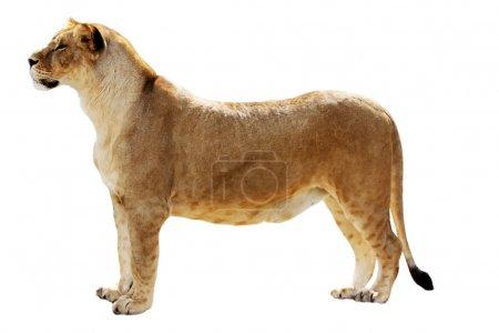 Big female lion