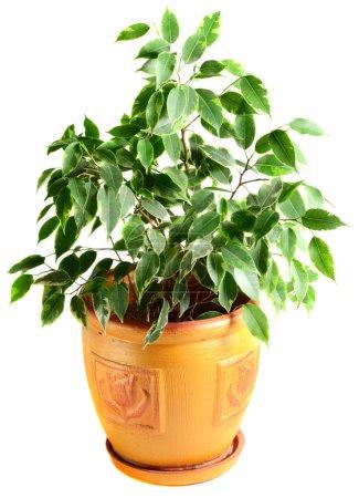 Ficus in a flowerpot