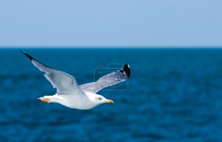 Photo pour Ciel bleu, océan et mouette écaillée - image libre de droit