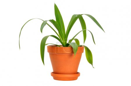 Photo for Young green plant in a pot isolated on white - Royalty Free Image