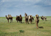 Camels going in the steppe