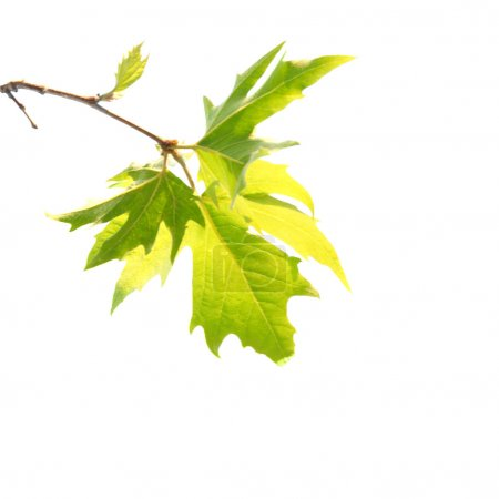 Green maple leaves with branch