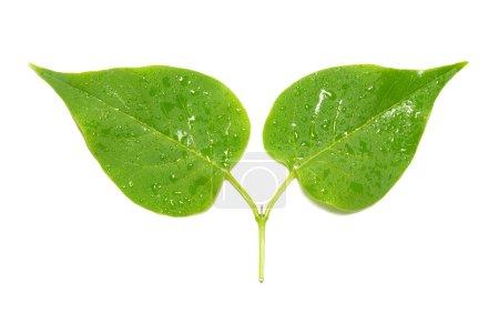 Photo pour Deux feuilles lilas vertes isolées sur fond blanc . - image libre de droit