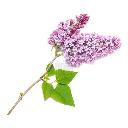 Photo pour Branche lilas violette isolée sur fond blanc - image libre de droit