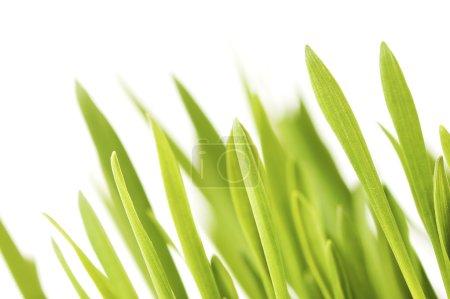 Photo pour Herbe verte sur fond blanc - image libre de droit