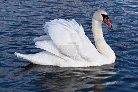 Photo pour Un cygne blanc nage sur l'étang - image libre de droit
